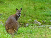 Wild kangaroos have attracted the attention of many of the animal tourists.